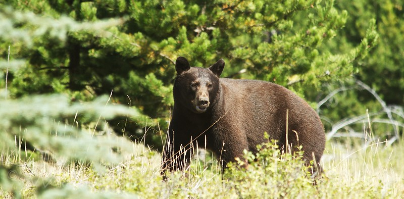 Black Bear - Montana