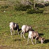 Big Horn Sheep Feeding,Glacier National Park