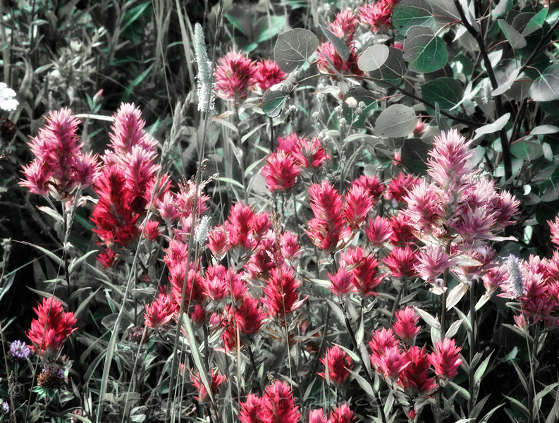 Indian Paint Brush Flowers, Glacier National park