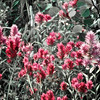 Indian Paint Brush Flowers, Glacier National park