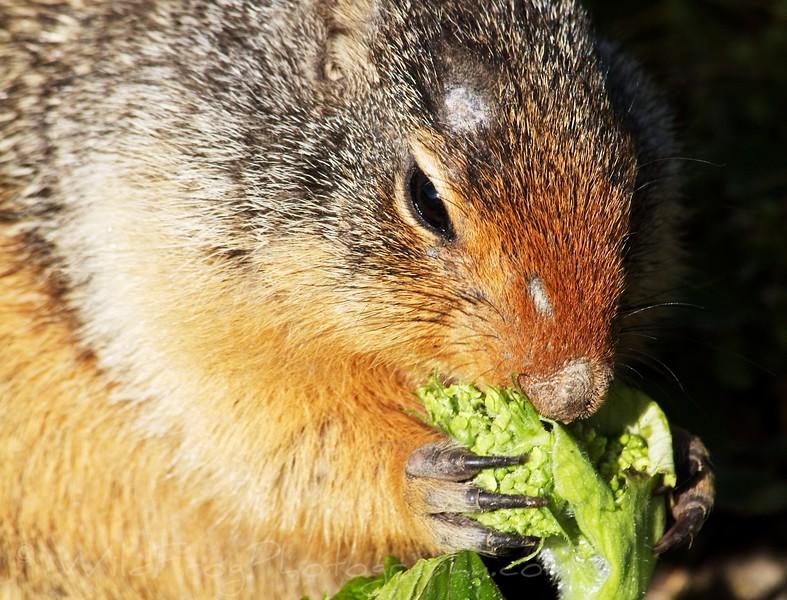 Ground Squirrel - Logan Pass