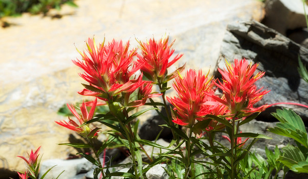 Indian paintbrush some times called prairie fire