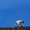 Going Home - Mountain Goat - East Glacier NP