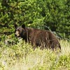 Black Bear, West glacier national park