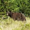 Black Bear, West glacier national park