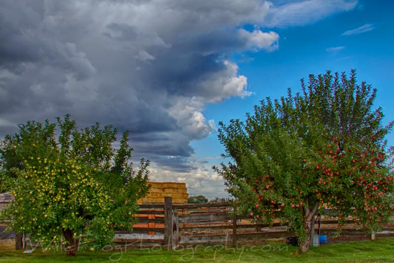 Loaded Apple Trees - Idaho