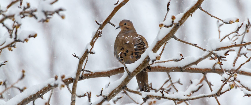 Dove trying to keep warm