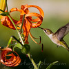 Hummingbird feeeding from Tiger Lily