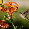 Hummingbird feeeding from Tiger Lily