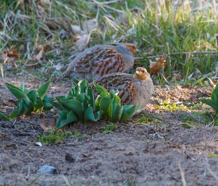 Gray partridge or Hungarian partridge