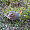 Gray partridge or Hungarian partridge