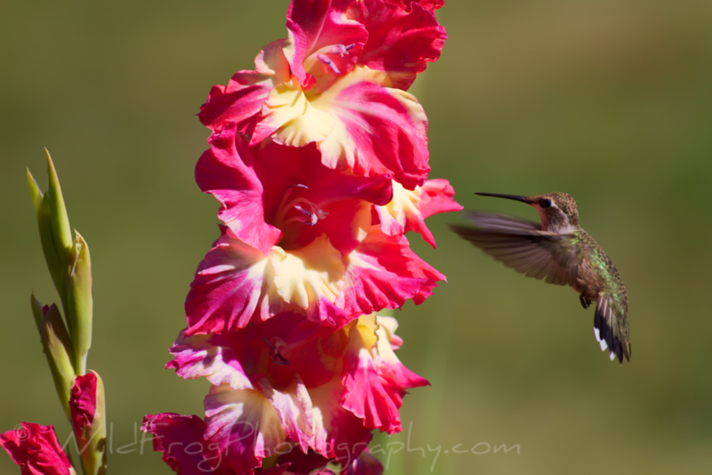 Hummingbird feeding in flight