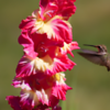 Hummingbird feeding in flight