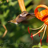 Hummingbird feeeding from Tiger Lily in the afternoon light