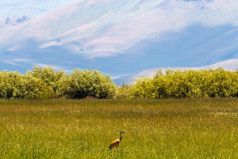 Sandhill crane, Idaho