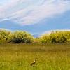 Sandhill crane, Camas County,Idaho