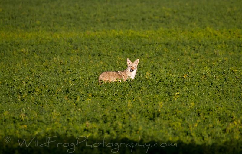 Coyote taking his morning walk - Twin Falls ID