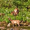 Elk feeding on the Lochsa river, Idaho
