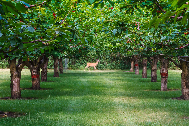 Deer & Cherrys