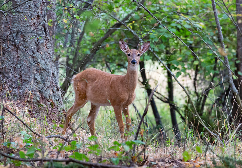 Young White tail Deer