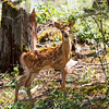 Young white tail fawn
