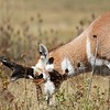 Pronghorn Antelope,Montana