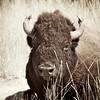 Bison Range,Montana