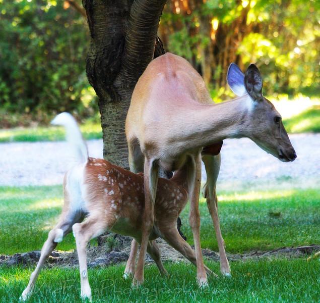 Baby White Tail Deer feeding,Flathead Lake, Montana