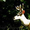 White tail Buck,Montana