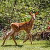 Young White Tail Deer (fawn)