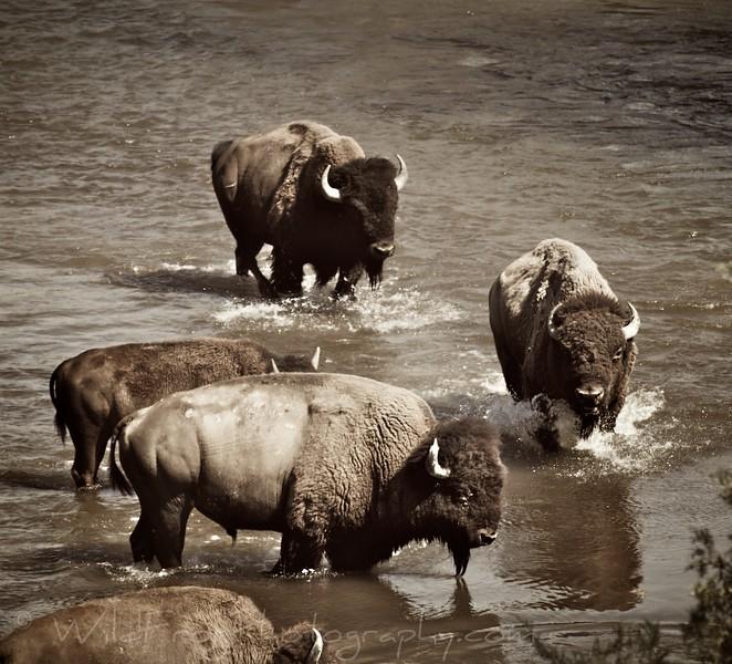 American Bison, Montana