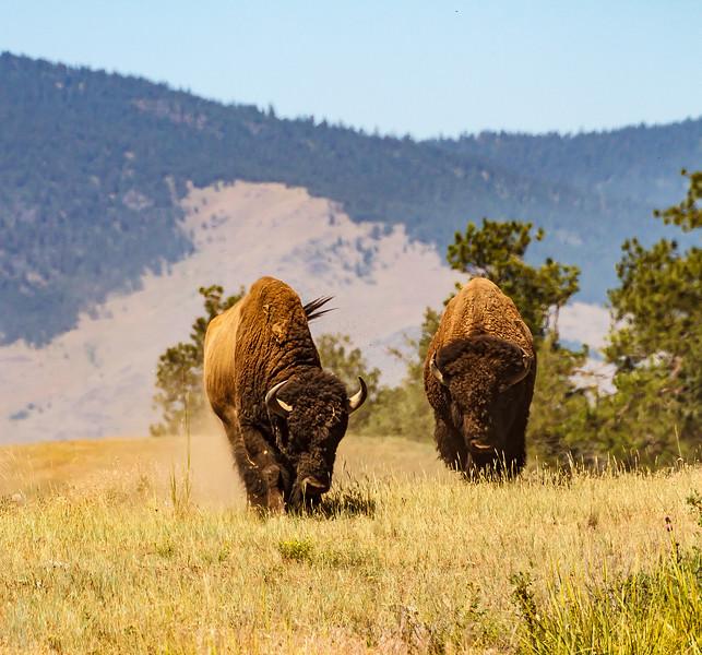 American Bull Bison feeding