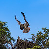 Osprey over head