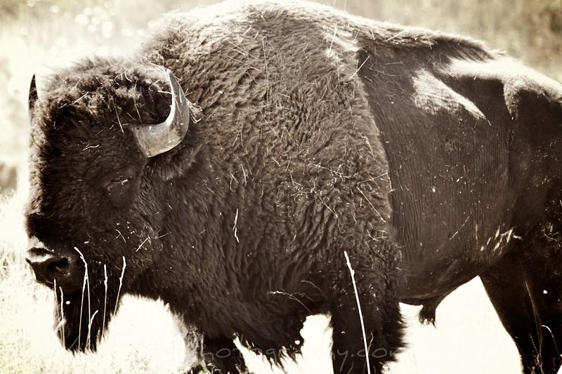 American Bison - Montana