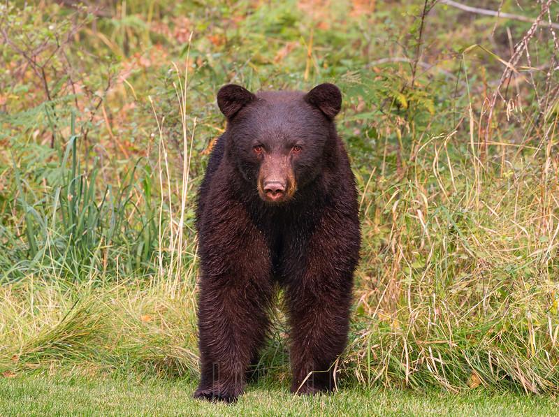 Black Bear face off