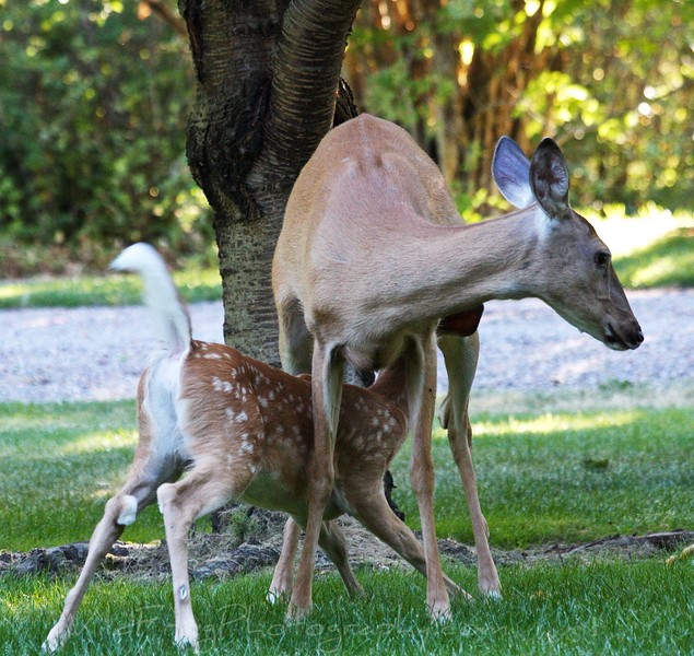 White tail Doe with feeding Fawn