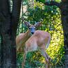 Whaite Tail Buck