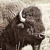 Bison Range - Montana