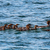 young Mergansers