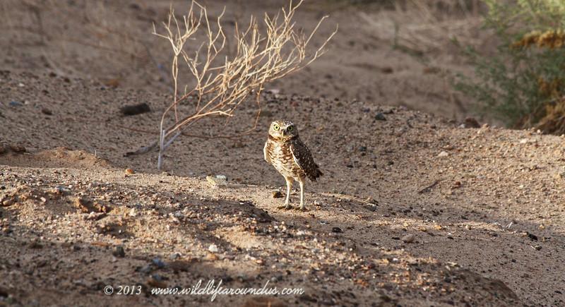 Burrowing Owl - Near Yuma Arizona
