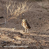 Burrowing Owl - Near Yuma Arizona