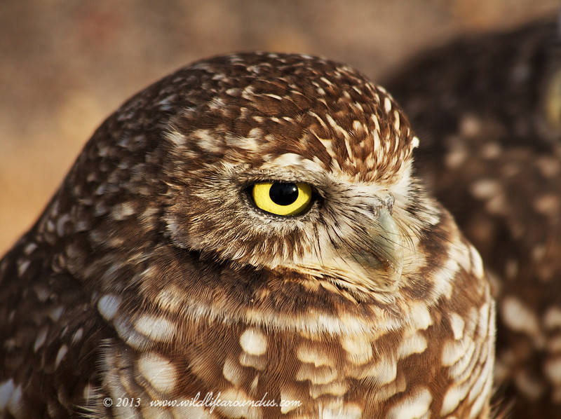Burrowing Owl - Yuma Arizona