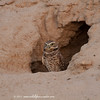 Burrowing Owl outside burrow