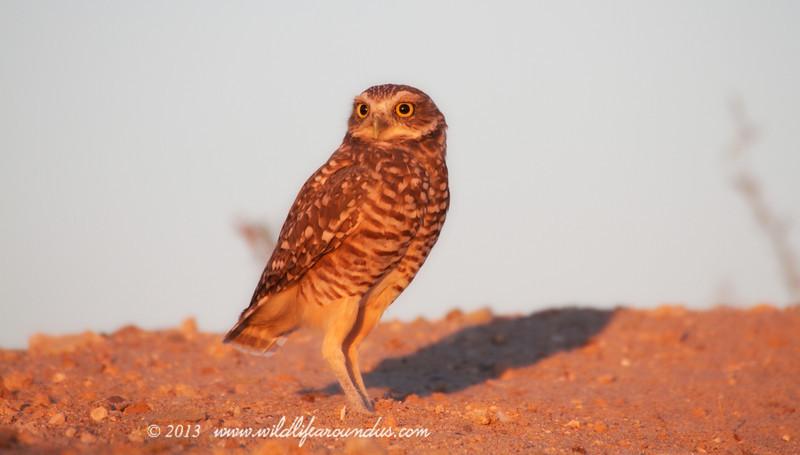 Burrowing Owl, In the Morning sun