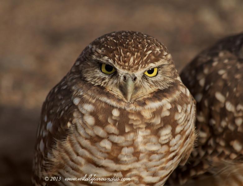 Burrowing Owl - on lookout