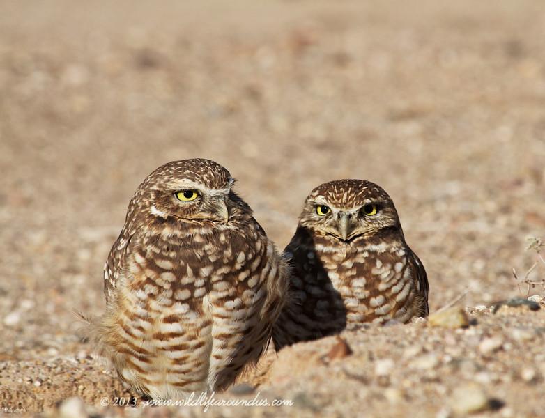 Burrowing Owls - Yuma Arizona