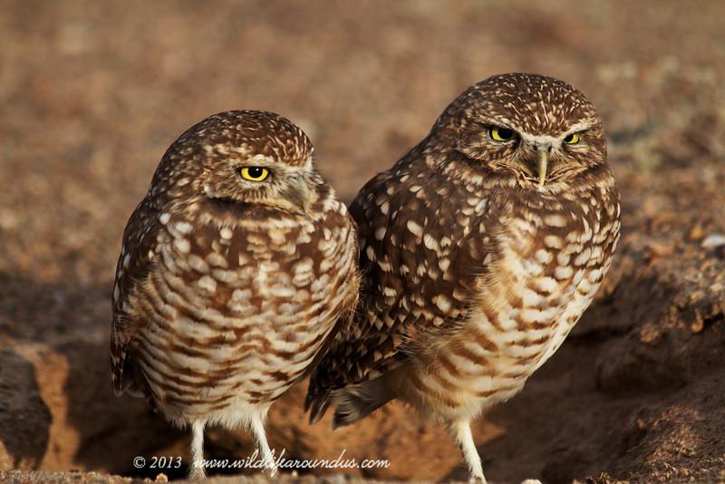 Burrowing Owls near Yuma AZ