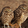 Burrowing Owls near Yuma AZ