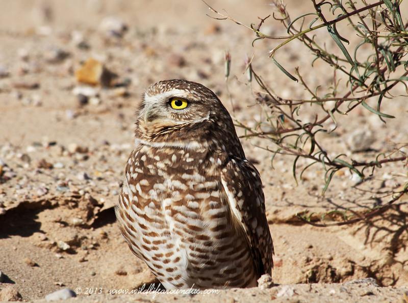 Burrowing Owl,Morning Sun