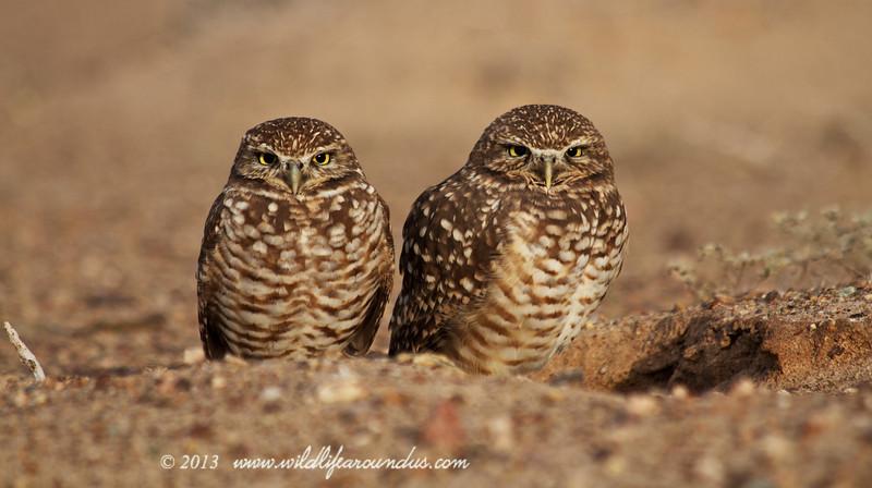 Burrowing Owls - Arizona